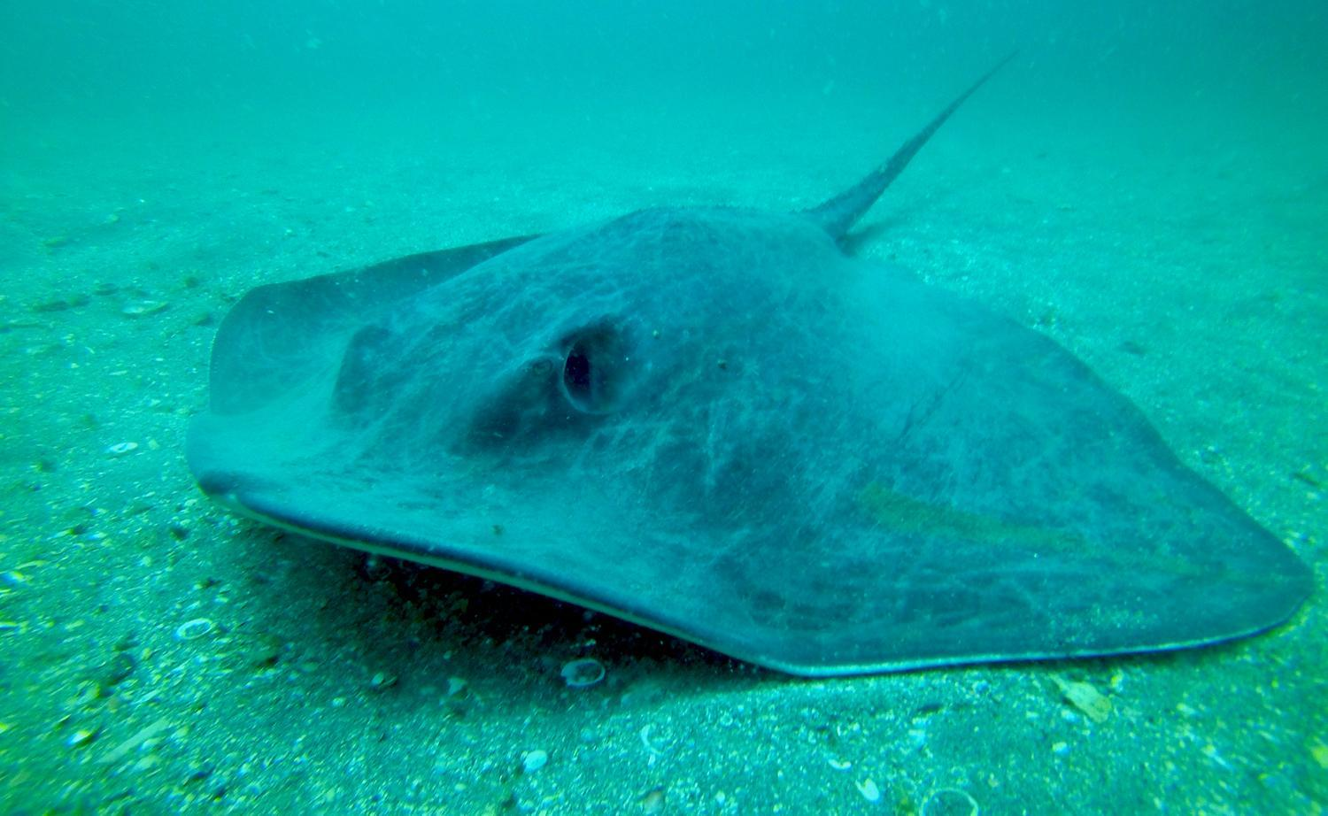 An image of a ray under water