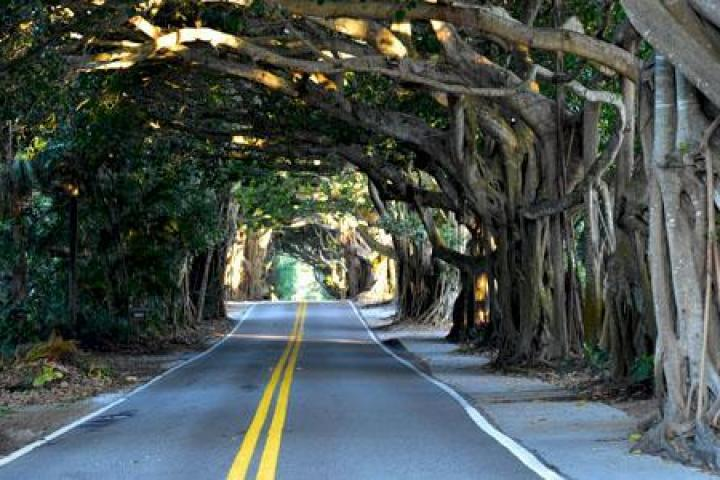 St. Lucie Boulevard Banyan Tree Canopy