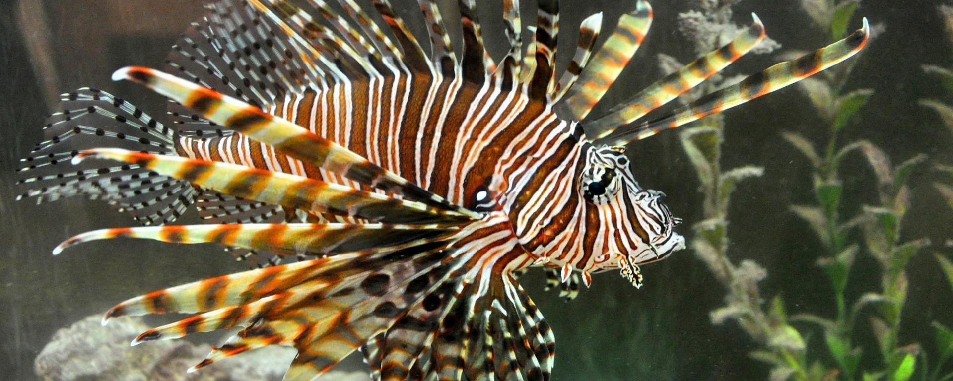 Lionfish/FWC