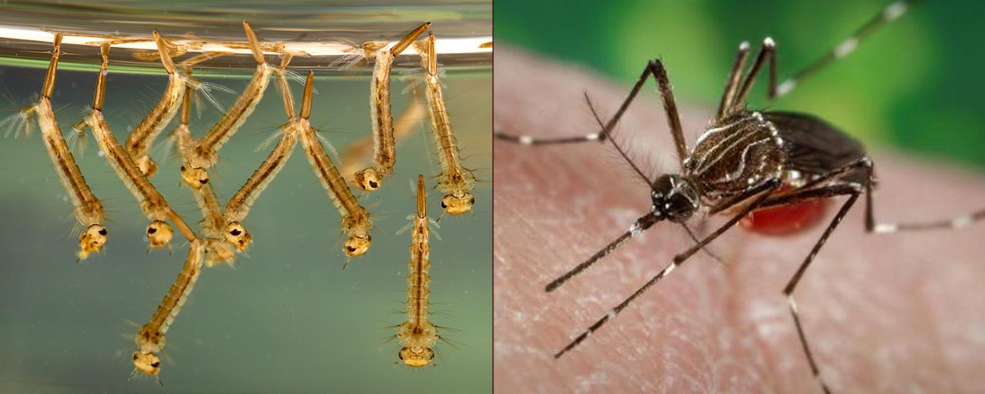 Mosquito Larvae and Adult