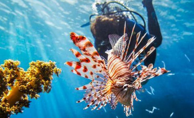 A diver and a lionfish