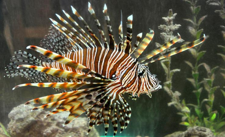An image of a lionfish
