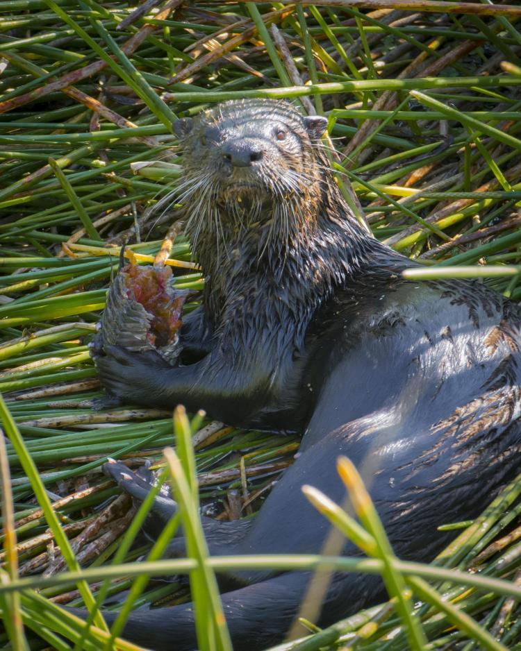 Otter at Phipps Park